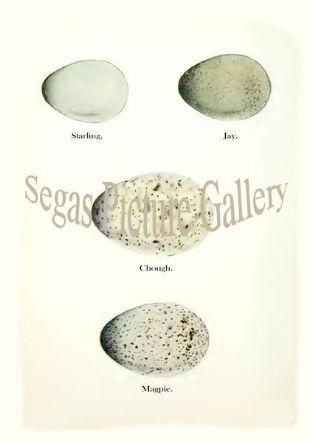 Starling, Jay, Chough, Magpie Eggs